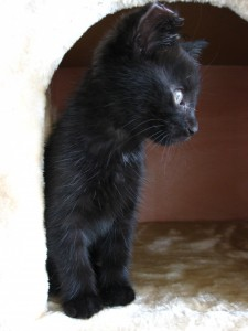 Black kitten with a tipped ear